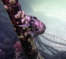 livsfarlig mangrove krabba...