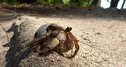 vandrande kokosnötskrabba...