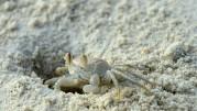 Carinas krabba...