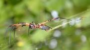 kan inte låta bli att fota dessa fantastiska spindlar...