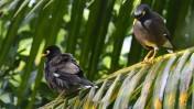 tre timmar i ångande het djungel kostade det mig för att fånga dessa sällsynta fåglar på bild...