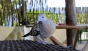 fågelbesök vid matbordet...