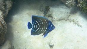 blåvit fisk måste vara göteborgare...