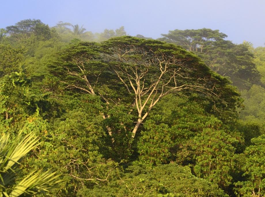djungelträd i tidigt morgonljus...
