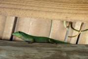 Carinas fina gröna ödla...