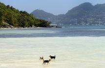 hundarna leker i vattnet, måste vara jordens lyckligaste hundar som bor på denna ön...
