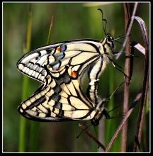 Makaonfjärilar