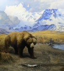 Alaska Brown Bear...