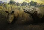 indisk noshörning...