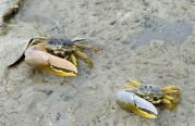 vinkar krabbor...