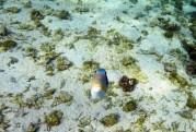 Carinas foto av den mest aggresiva Trigger fish någon i Söderhavet skådat och överlevt...