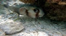 snöleopardfisken kan bita av ett ben med ett enda bett...