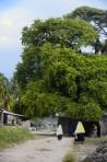 stora trädet i byn...