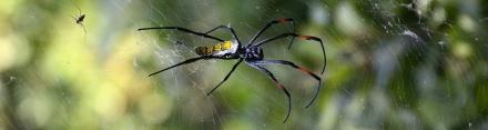 Nephila madagascariensis, den lilla spindeln till vänster är förmodligen en hane...