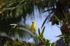 Vävare - Ploceidae...