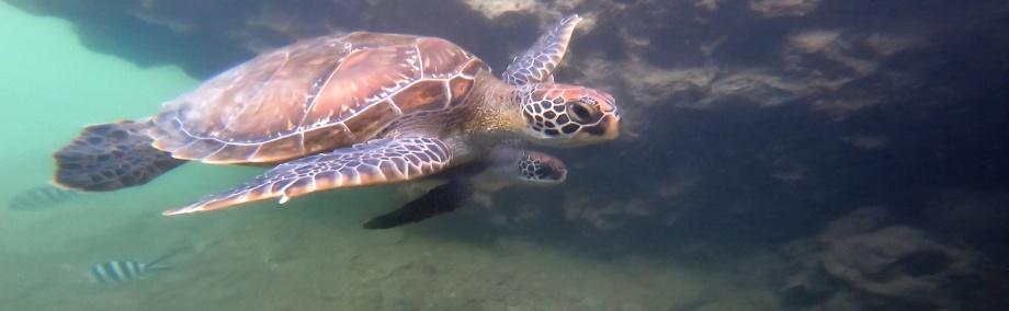sköldpaddor...