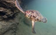 sköldpadda...