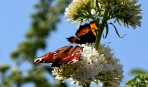 Påfågel (Inachis io)...