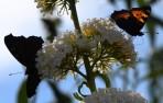 Nässelfjäril (Aglais urticae)...
