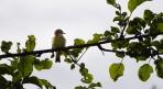 en Grönsångare sjunger upp framför frukostfönstret...