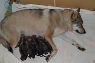 Hennes mamma med alla 10 valparna