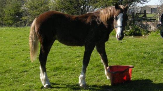 Christofers new horse, Derwen Rio, welshcob, 1 year old
