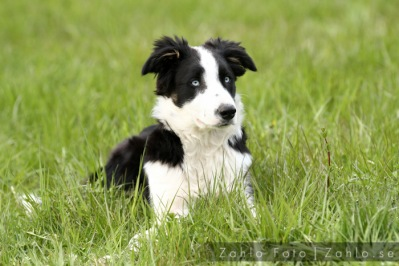 Celtic vår Border Collie