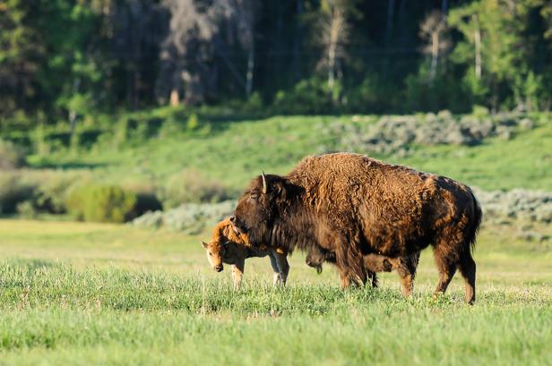 Bison med kalv