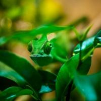 Kameleont_DSC_3665_1024