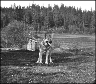 Hunden Moppe, tjänstgörande polishund i Töcksfors på 1930- och 1940-talet. En vovve som det inte var så lätt att komma till tals med.