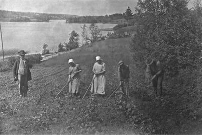 Potatisupptagning vid Ögårn i Sanda. Nils Ericson m.fl. Foto: A. Johansson