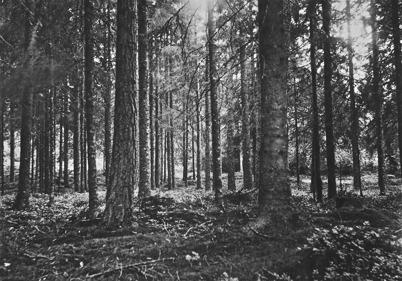Skogsbestånd Foto: J B Söderblom