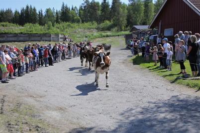 29 maj 2014 - Och så var det dags att släppa ut korna på sommarbete i Bäckevarv.