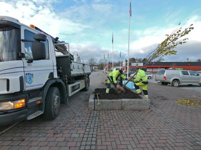 30 oktober 2013 - torget i Töcksfors fick nya träd.