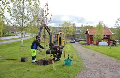 18 maj 2015 - Kommunen planterade nya träd vid nerfarten till kanalparken.