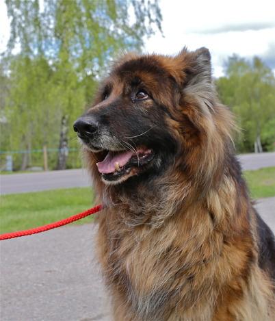 18 maj 2015 - Och så var Töcksfors kanske lydigaste vovve Loke ute och gick med matte.