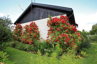 19 juli 2015 - Och i Töcksfors var det rosornas sommar.