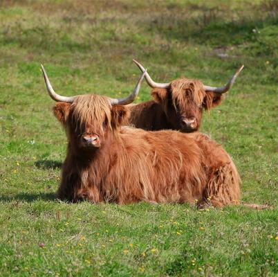 10 september 2015 - Ivarsbyns Highland cattles väntade på att få tillgång till den nya betesmarken.
