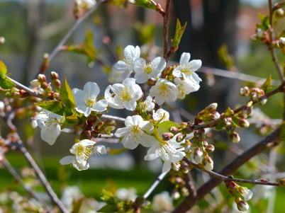 15 maj 2016 - Våren stod i blomning.