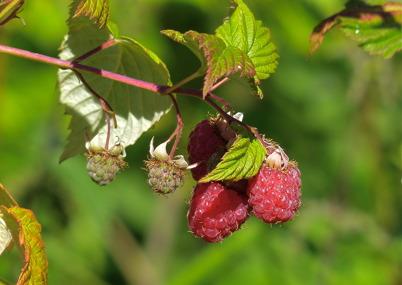 19 juli 2016 - Bär och frukter började mogna.