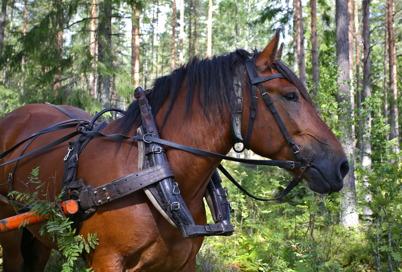 21 augusti 2016 - Vid arrangemanget Skogens familjedag på Årjängstravet kunde man bland mycket annat se timmerkörning i skogen med en Ardenner.