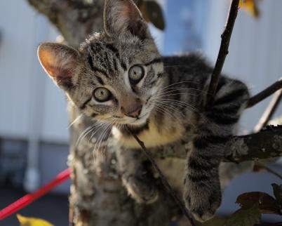 11 augusti 2017 - I Töcksfors kunde man se en mini-Tiger klättra i träden.
