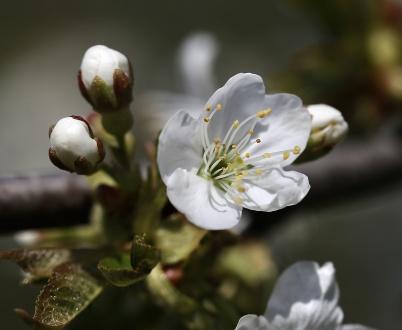 28 april 2019 - Fruktträden blommade.