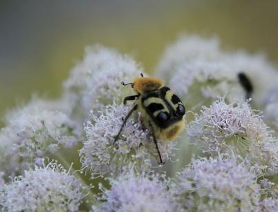 9 juli 2019 - Och på blomsterängarna kunde man se vanliga och mindre vanliga pollinerare.