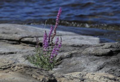 16 augusti 2020 - Och så kunde man beskåda blomsterprakt vid Foxens strand.