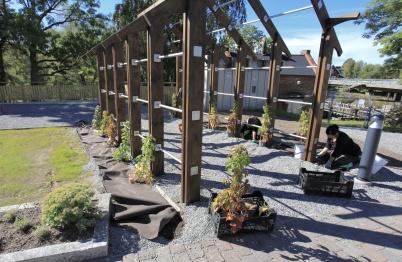 7 september 2020 - Och vid nya Kioskparken planterade kommunen klätterväxter.