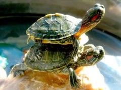 Mina två sköldpaddor - Hubert & Hubertina