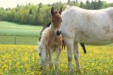 Ponny föl Hoka Piccola född 10 med mamma Guöns Pingeling,welsh pony