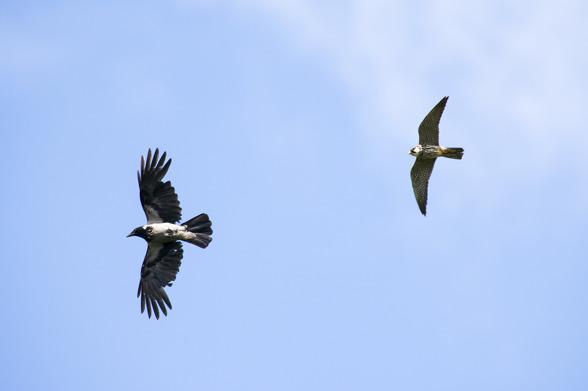 Lärkfalk jagar en kråka
