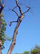 Även träden sträcker sina gernar upp i skyn när musikkåren spelar på Gränsö